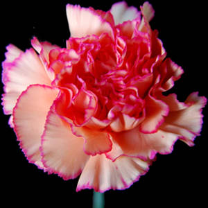 Carnation Close Up