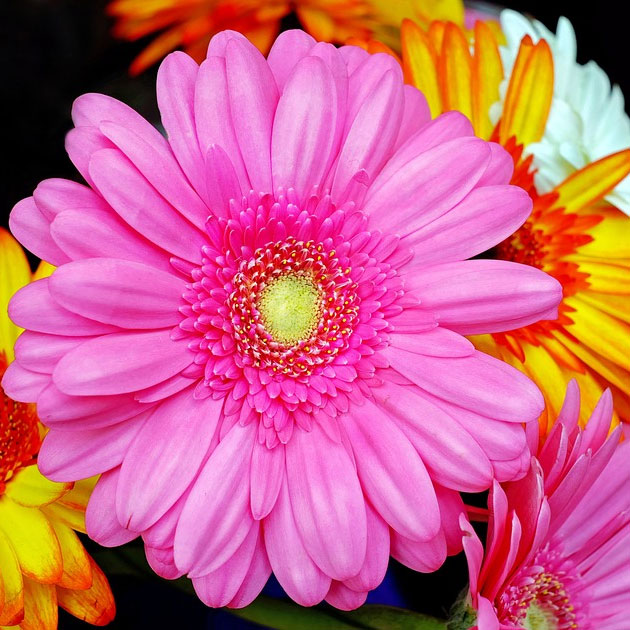 Close up of a some Gerberas