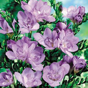 A Bouquet of 50 Classic Lilac Fragrant Freesias