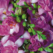 100 PINK Freesias handtied into a Luxury Bouquet