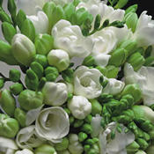 A Bouquet of 30 Classic White Fragrant Freesias