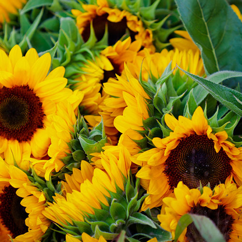 send a single sunflower  buy a single sunflower  post a single, Beautiful flower