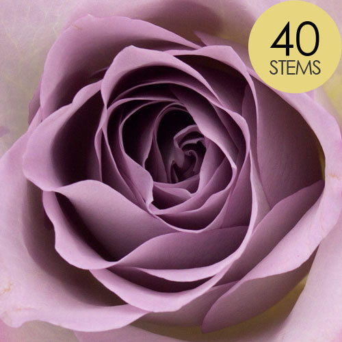 40 Lilac Roses
