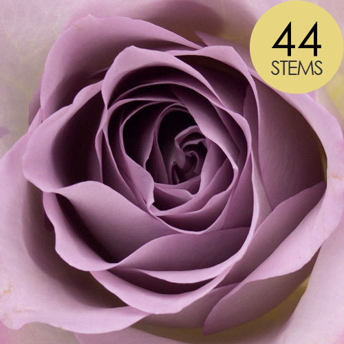 44 Lilac Roses