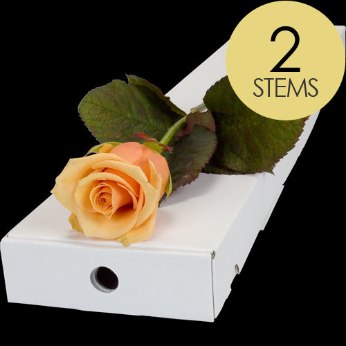 2 Letterbox Peach Roses