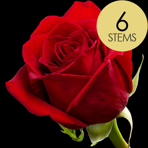 6 Classic Bright Red Freedom Roses