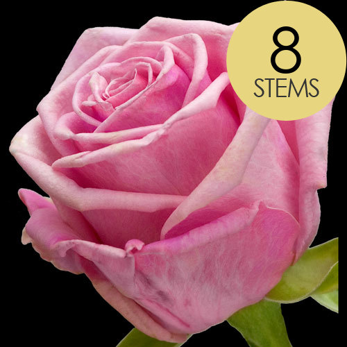 8 Classic Pink Roses
