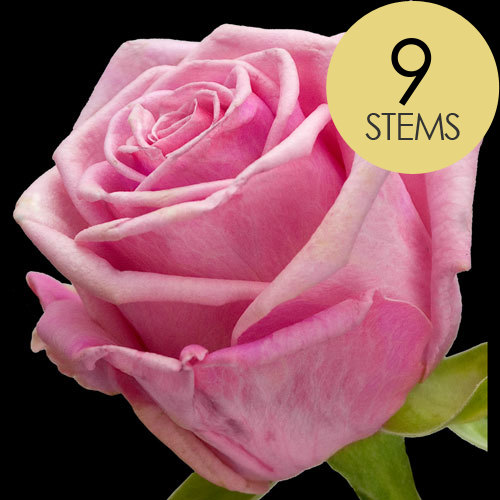 9 Classic Pink Roses