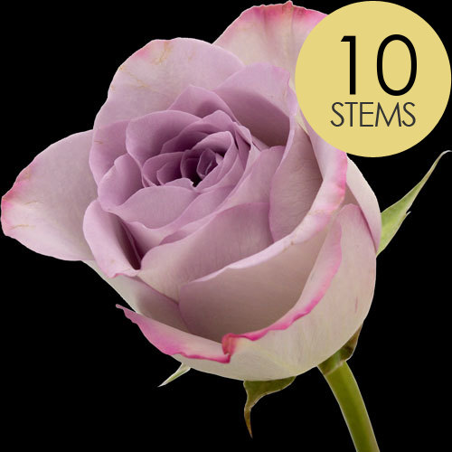 10 Lilac Roses