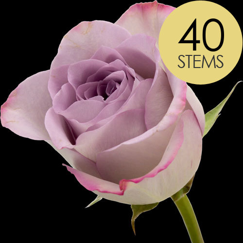 40 Classic Lilac Roses