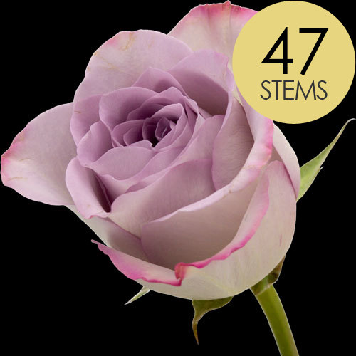 47 Classic Lilac Roses