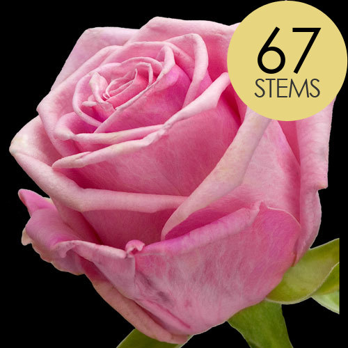 67 Classic Pink Roses