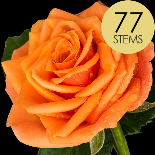 77 Luxury Orange Roses