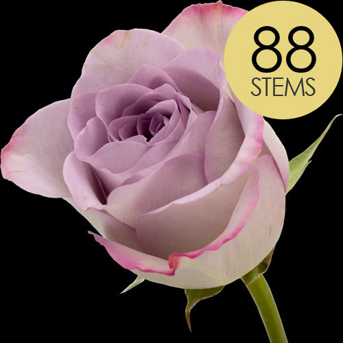 88 Lilac Roses