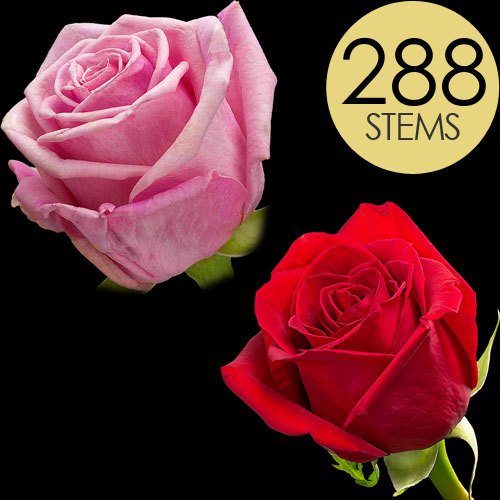 288 Red and Pink Roses