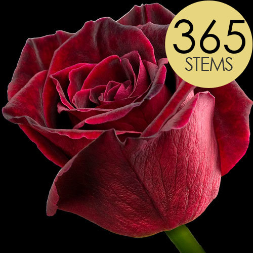365 Wholesale Black Baccara Roses