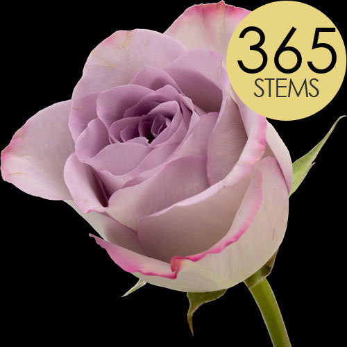 365 Wholesale Lilac Roses