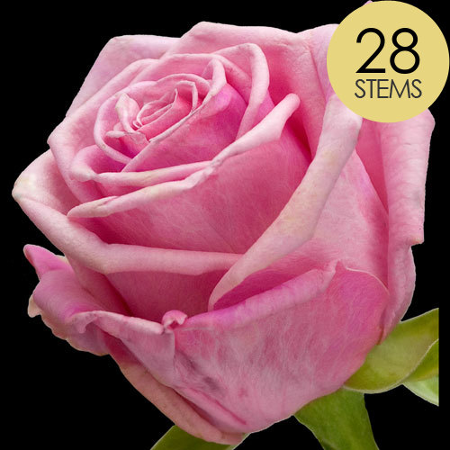 28 Classic Pink Roses