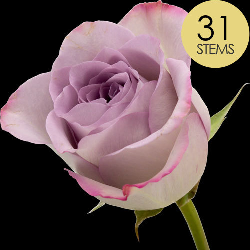 31 Classic Lilac Roses