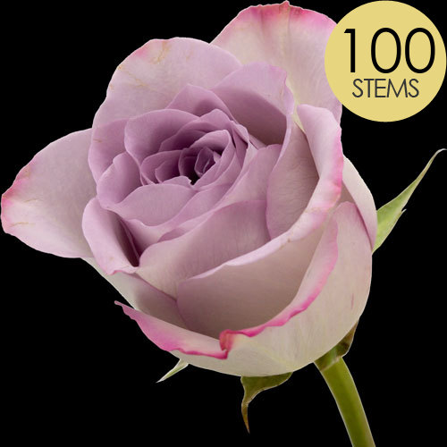 100 Classic Lilac Roses