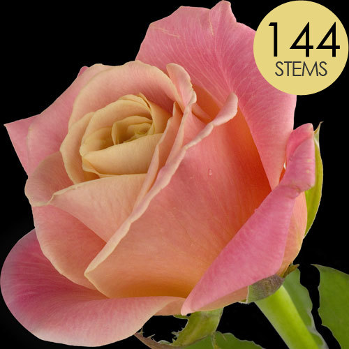 144 Luxury Peach Roses