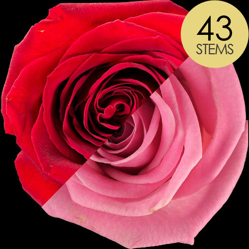 43 Red and Pink Roses