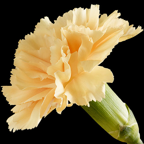 A Single Classic Peach Carnation