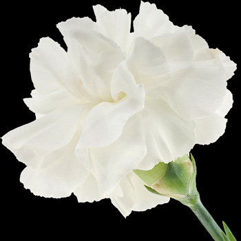 A Single Classic White Carnation
