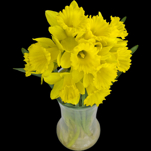 10 Long-Stemmed Dutch Greenhouse Grown Daffodils
