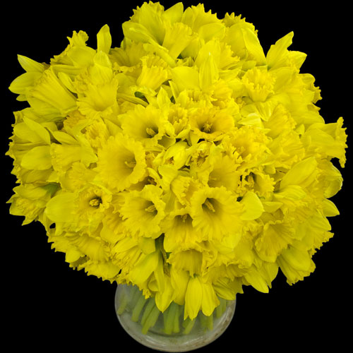 100 Daffodils handtied into a Luxury Bouquet