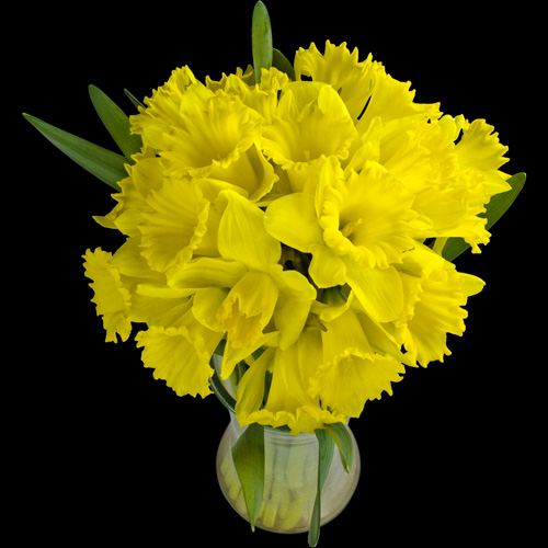 A Bouquet of 20 Daffodils