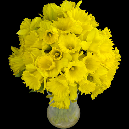 40 Long-Stemmed Dutch Greenhouse Grown Daffodils