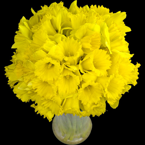 A Bouquet of 50 Daffodils
