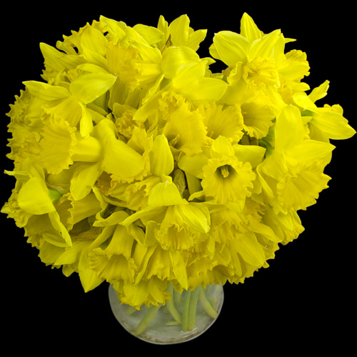 70 Long-Stemmed Dutch Greenhouse Grown Daffodils