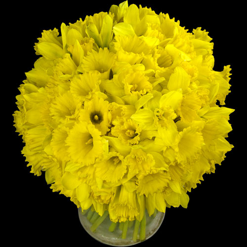Bouquet of 40 Luxury Daffodils