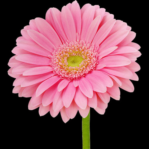 A Single Classic Pink Gerbera