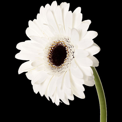 A Single Classic White Gerbera