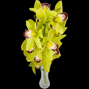 A Single Classic GREEN Cymbidium Orchid