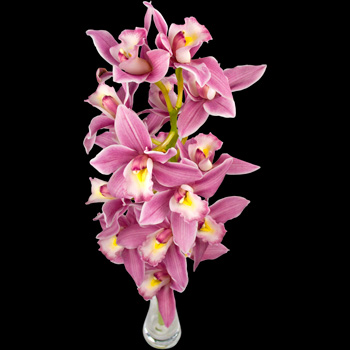 A Single Classic Pink Cymbidium Orchid