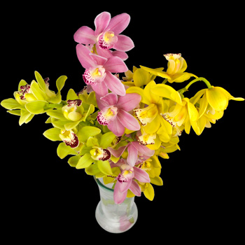 3 Classic Mixed Cymbidium Orchids
