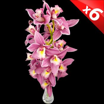 Image of 6 Classic Pink Cymbidium Orchids