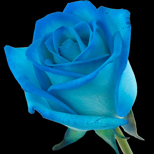 A Single Light Blue (Dyed) Rose