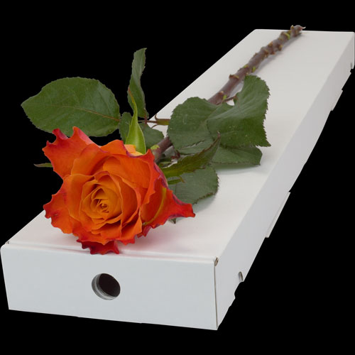 Letterbox Single Orange Rose