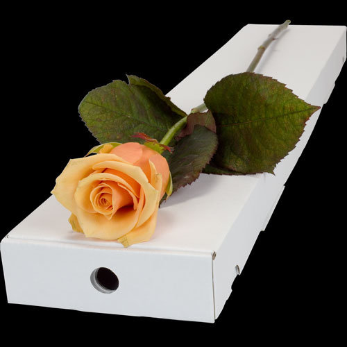 A Single Peach Rose in a Classic Box