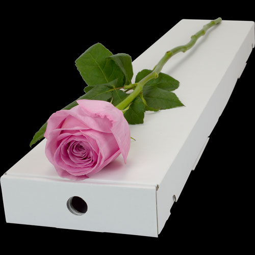 A Single Pink Rose in a Classic Box