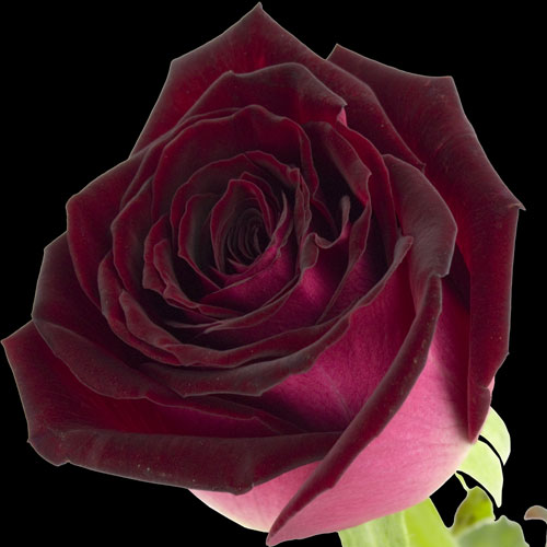 A Single Ruby Red Rose