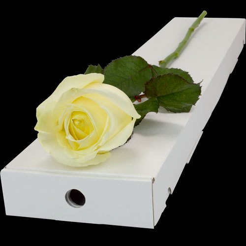 A Single White Rose in a Classic Box