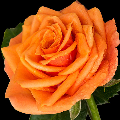 A single orange rose