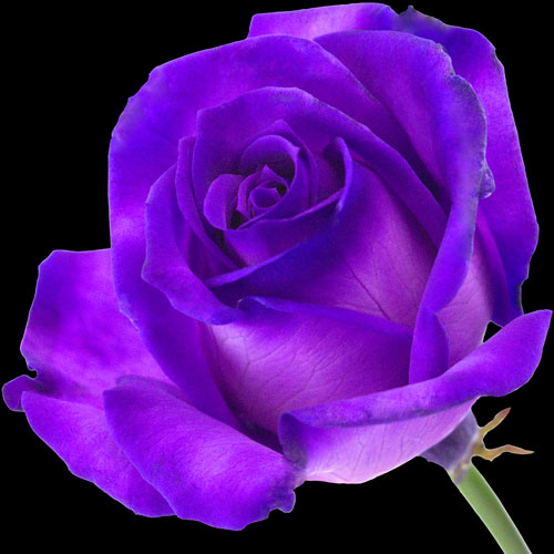 A single purple rose