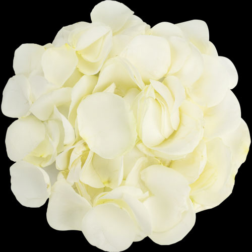 1 Jug of Fresh White Rose Petals